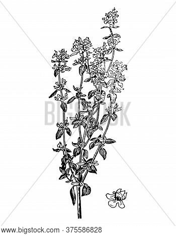 Thyme Branch With Flowers And Leaves Isolated Background. Plant Sketch For Tea, Organic Cosmetic, Ar
