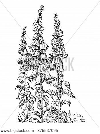 Digitalis Bush Of Branch With Flowers And Leaves Isolated Background. Plant Sketch For Organic Cosme