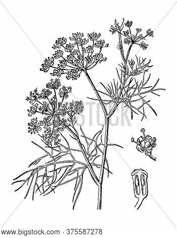 Fennel Or Dill Branch With Flowers And Leaves Isolated Background. Plant Sketch For Organic Cosmetic