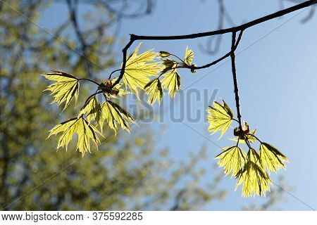 Bright Green Spring Maple Leaves Backlit By The Sun