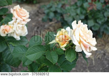 Florescence Of Light Beige Rose In The Garden In July