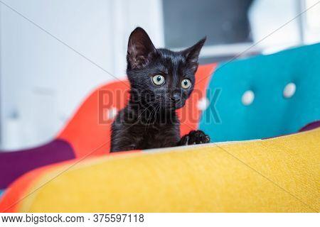 Close Up Of Black Kitten. Black Kitten Portrait. Close Up Of Kitten On Chair. Cat. Kitten Playing On