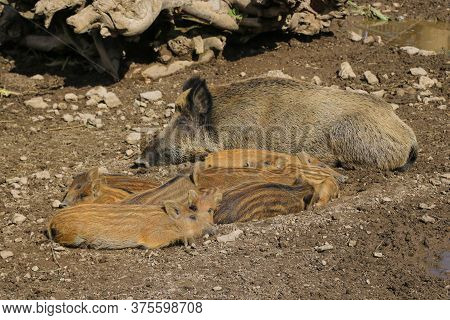 Small Wild Boar Pig Lies On The Ground