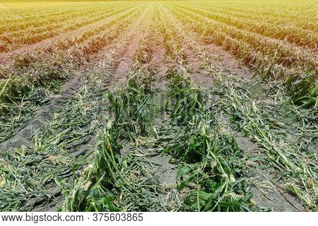 Maize Corn Agriculture Field After Harvesting. Cob Corn Field.