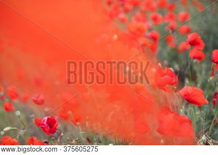 Beautiful Blooming Red Poppy Field Blurred Background. Landscape With Wildflowers. Transparent Organ