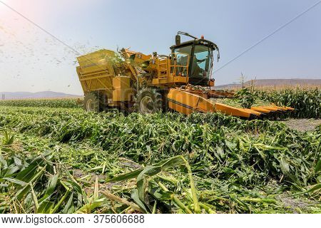 Corn Picker Harvesting A Sweet Cornfield. Harvest Of Agriculture Field.