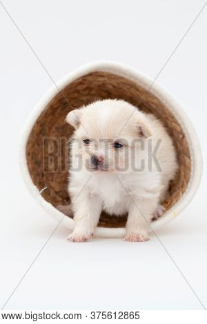 Adorable Pomeranian Spitz Dog Puppy Laying In A Rush Basket With Natural Light. High Quality Photo