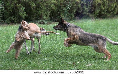 battle of dogs