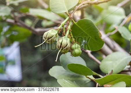 Sonneratia Ovate Fruit, Mangrove Apple Or Cork Tree On Nature Background At Forest At The River Estu
