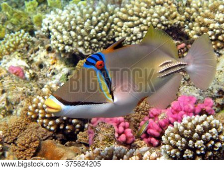 Picasso Triggerfish. Fish - A Type Of Bone Fish Osteichthyes. Spine-horned (balistidae) Rinecant Pic