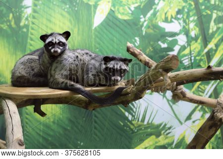 Two Lemurs On A Branch. One Put His Head On The Other. Front View From The Side.