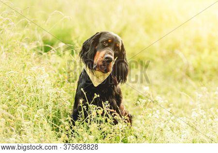 Gordon setter walking outdoors on summer field with high grass
