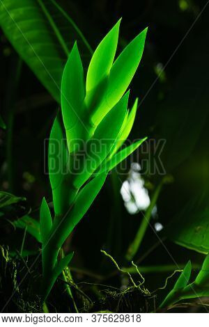 Close Up Orchid Leaves In Backlight. Texture Details Of Tropical Green Foliage. Low Key Macro Beauti