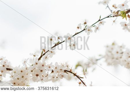 Beautiful Tender Tree Blossom In Sunlight, Floral Background, Spring Blooming Flowers. Cherry Blosso