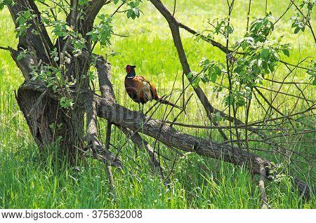 Common Pheasant (phasianus Colchicus) Male Sitting On The Tree