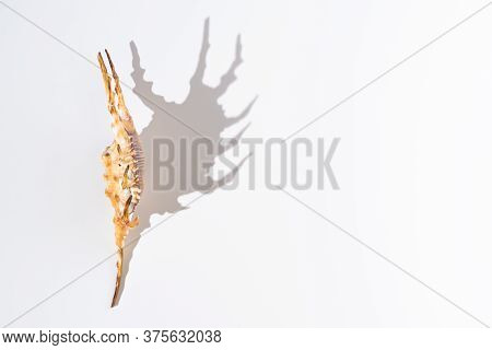 Beautiful Shape Of The Shadow Of Lambis Crocata Or Chiragra Spider Conch Shell Under Hard Light On W