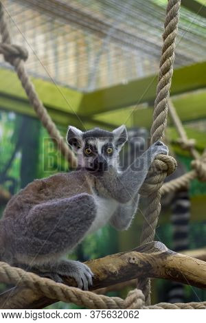 Lemurs On A Branch. One Put His Head On The Other. Front View From The Side.