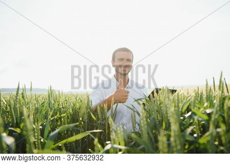 Happy Young Farmer Or Agronomist Inspecting Wheat Plants In A Field Before The Harvest. Checking See