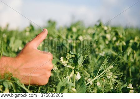 Farmer's Hand Checks The Flowering Of Green Peas In The Field