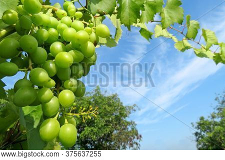 Green Vineyard In Summer, Bunch Of Grapes With Leaves Growing On Blue Sky Background. Unripe Grapevi