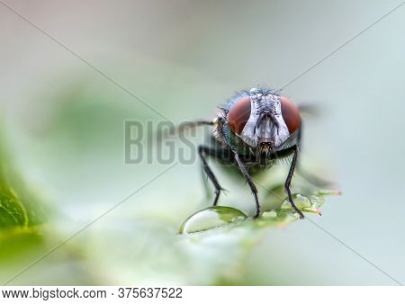 House Fly In Extreme Close Up Sitting On Green Leaf. Picture Taken Before Grey Background
