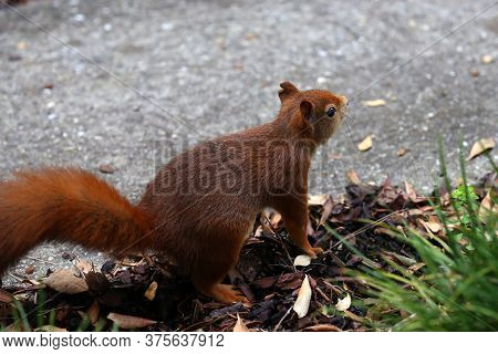 Red Squirrel Collects Nuts In The Grass In The Park