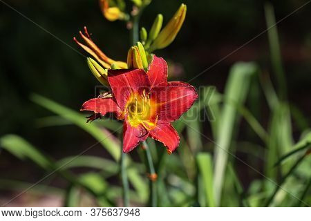 Full Bloom Of Bright Red Lily In The Flower Garden