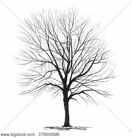 Ash-tree (fraxinus L.) With Fallen Foliage, In Winter, A Color Vector Image On A White Background