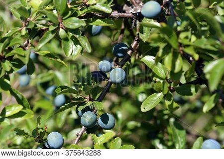 Blackthorn Branch With Ripening Berries And Green Leaves