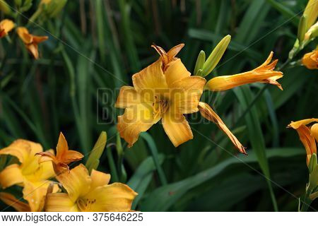 Full Blooming Of Yellow Lily In Flower Garden