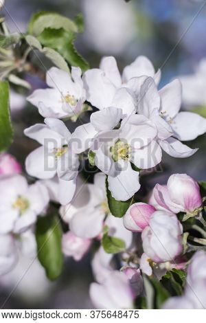 Delicate Apple Blossoms On The Background Of A Blooming Tree In The Garden In Spring.