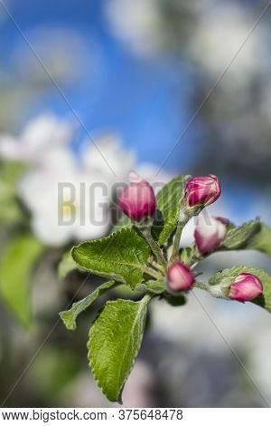 Pink Apple Buds On The Background Of A Blooming Garden.