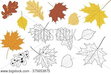 Vector Illustration, Set Of Bright Realistic Autumn Leaves And Silhouette. Maple, Linden, Oak And Po