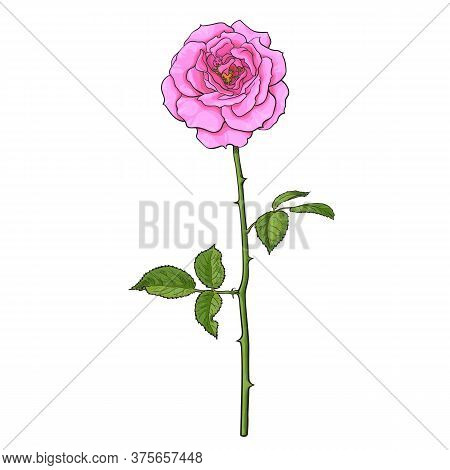 Pink Rose Flower With Green Leaves And Long Stem. Realistic Hand Drawn Vector Illustration In Sketch