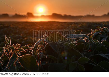 Close Up Of Soy Plants, Back Lit By Warm Early Morning Sunlight