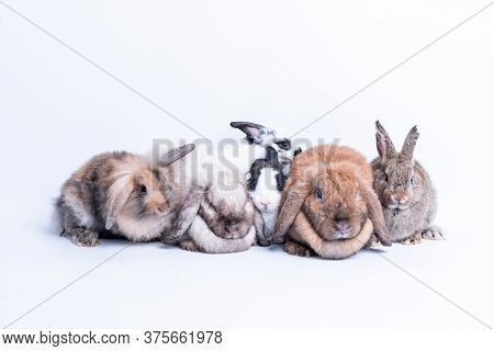 Rabbit Family Many Species, Fluffy Hair, Long Ears, Round Fat Body And Some Cleft Ears Because Of Be