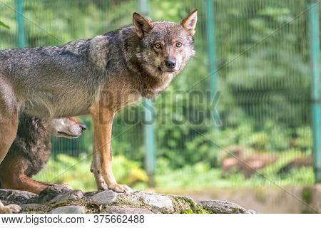 Gray Wolf In The Aviary. The Wolf, Canis Lupus, Also Known As The Gray Wolf Or Grey Wolf, Is A Large