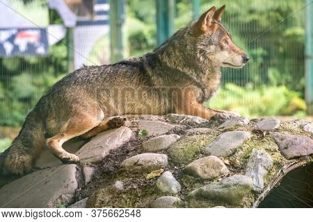 Gray Wolf In The Aviary Resting On The Stones. The Wolf, Canis Lupus, Also Known As The Gray Wolf Or