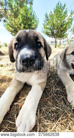 Puppy, Anatolian Shepherd Dog. Close-up Portrait...\n Anatolian Shepherd Dog Puppie Playing In The G