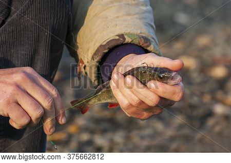 The Fisherman's Hands Stab A Live Bait To Catch A Predatory Fish