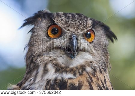 Portrait Of Bubo Bubo - Eurasian Eagle Owl With Forest Background.