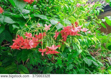 Drunken Sailor Flowers Are Blooming In The Garden . Rangoon Creeper, Quisqualis Indica.