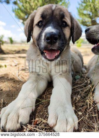 Puppy, Anatolian Shepherd Dog. Close-up Portrait...\n Anatolian Shepherd Dog Puppie Playing In The G