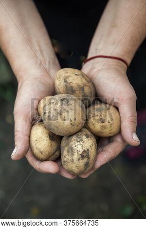 White Dirty Fruit Potatoes In Female Hands, Close-up. View From Above. Copy Space