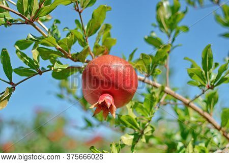 Blooming Red Pomegranate Hanging On A Tree, Among Green Leaves, Against The Blue Sky. Juicy Pomegran