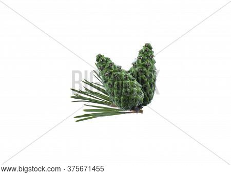 Pine Cones Isolation. Cones On A Branch Isolated On White. Spruce Branch With Green Cones On White.