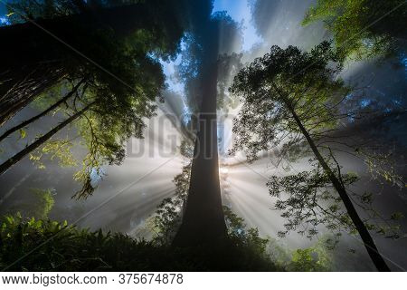 Sunbeams In The Foggy Redwood Forest In California
