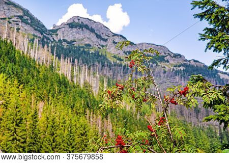 Beautiful Mountains Landscape, Mountain Ash Branches (rowan Tree). Bright Blue Sky.