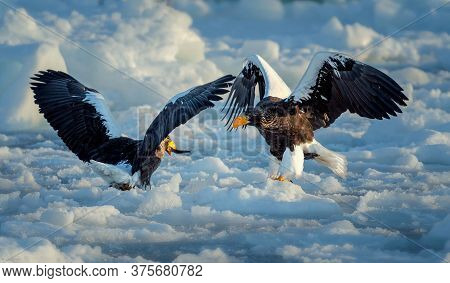 Eagle Food Fight - A Bald Eagle Tries To Steal A Chum Salmon Carcass From Another Eagle Who Fights T