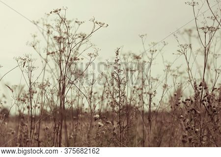 Dry Grass And Herbs Background. Beautiful Background With Silhouette Of Field Grass And Flowers. Umb